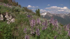 Wide Boulder Whiteclouds Lupines Pan Stock Footage
