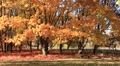 Golden autumn orange leaves on trees Footage