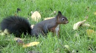Stock Video Footage of The busy squirrel