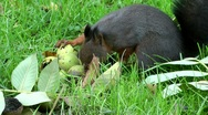 Stock Video Footage of Black squirrel