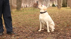 Labrador dog in the park Stock Footage