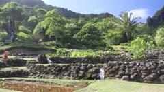 Kauai taro hawaii Stock Footage