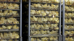 Baby Chicks in the incubator Stock Footage