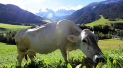 Cow in an  Alpine meadow, Val di Funes, Dolomites Stock Footage