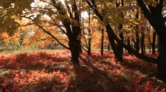 Golden autumn - stock footage