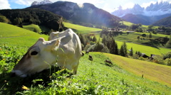 Cow in an  Alpine meadow, Val di Funes, Dolomites, Italy Stock Footage