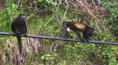 Monkeys on wires Stock Footage