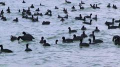 Flock of black ducks Stock Footage