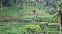 Carry Rice 1 Stock Footage