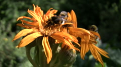 Three Bumblebees on Flowers - stock footage