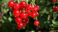 A Bunch of Red Currants Stock Footage
