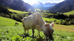 Cow in an  Alpine meadow, Val di Funes, Dolomites, Italy - stock footage