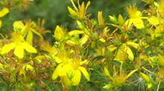 Yellow flower of St. John's wort on a mountain meadow Stock Footage