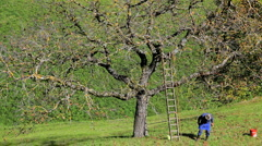 Picking fruit nr St Peter, Val Di Funes, Italy Stock Footage