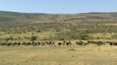 African Buffalo P2 Stock Footage