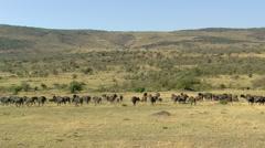 african Buffalo P2 - stock footage