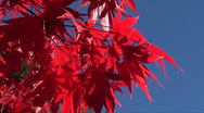 Stock Video Footage of red acer