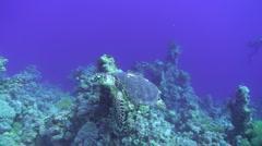 Hawksbill turtle swimming fast past scuba divers Stock Footage