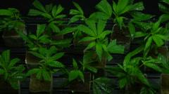 Tray of Marijuana plant clones Stock Footage