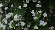 Stock Video Footage of white flowers