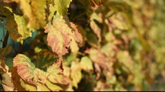 White grapes leafs in wind Stock Footage