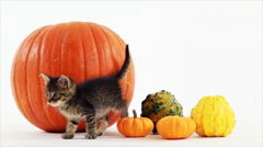 Kitten and pumpkins closeup Stock Footage