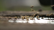Stock Video Footage of Bees Collecting Water