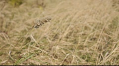 Gold grass detail Stock Footage