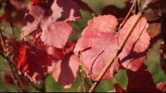 autumn grapes leafs - stock footage