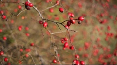 rosehip - stock footage