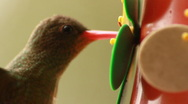 Stock Video Footage of Gilded Hummingbird extreme close up feeding.