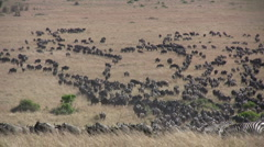 A group of migrating wildebeests Stock Footage