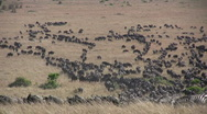Stock Video Footage of a group of migrating wildebeests