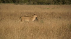 A lion carrying part of a kill Stock Footage