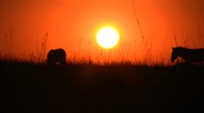 A zebra walks across sunset Stock Footage