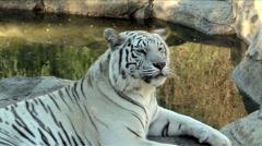 White Bengal Tiger Stock Footage