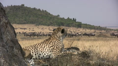 Cheetah watching wildebeests pass by. Stock Footage
