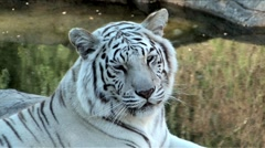 White Bengal Tiger Stock Footage