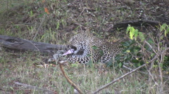 Leopard eating Stock Footage