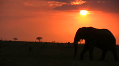 One elephant walking through the setting sun Stock Footage