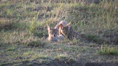 Silver backed jackal puppies relaxing 3 Stock Footage