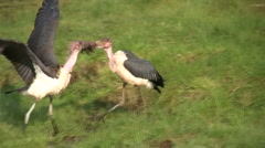 Storks fighting over food. Stock Footage