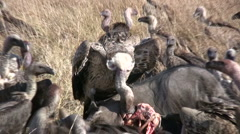 Vultures on a kill 1 Stock Footage