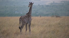 Young giraffee running Stock Footage