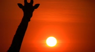 Zoom in of giraffe in the setting sun Stock Footage