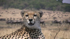 Zoom out of cheetah with gnus in the background. Stock Footage
