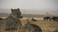zoom out of cheetahs resting under tree - stock footage