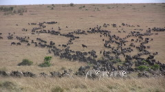 zoom out of migrating file of wildebeests - stock footage