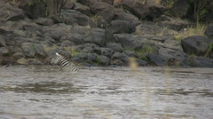 Zoom out of zebras crossing a river Stock Footage