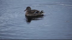 Female mallard duck stretching her wings after mating Stock Footage